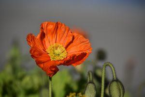 poppy-1330450_1280